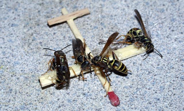 Wasp Plane